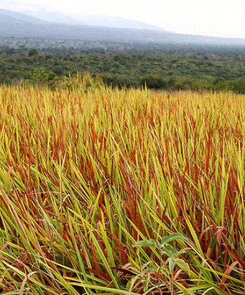 Agronomy of Grasslands
