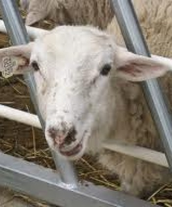 SMALL RUMINANT PRODUCTION SYSTEMS