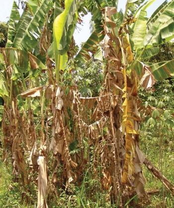 Field Crop Diseases